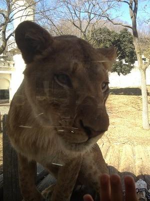 ライオン近い